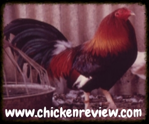 Chicken Review