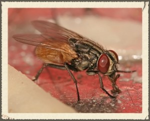Fly Repellent Tips and Traps
