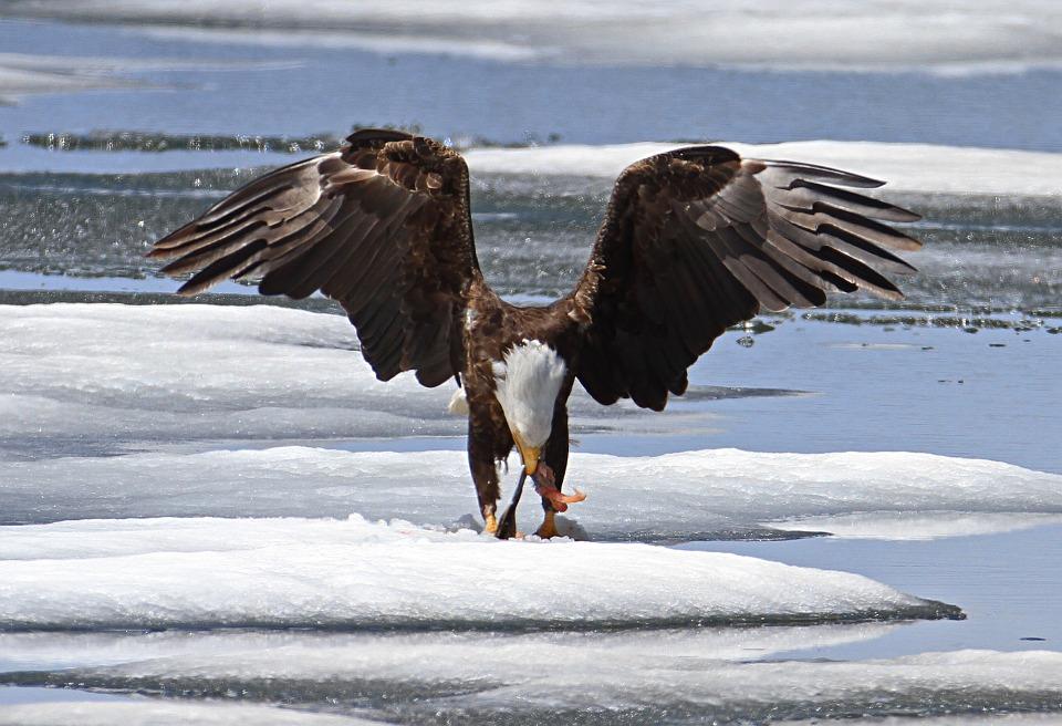bald-eagle-867801_960_720