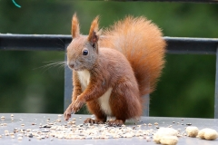 squirrel-1000386_960_720