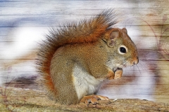 squirrel-583814_960_720
