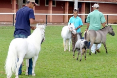 Mini-Horse and Mares