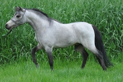 Miniature Stallion