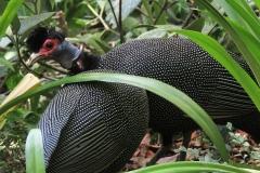 guinea-fowl-2458873_960_720