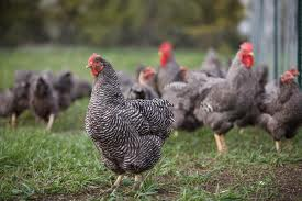 Barred Rock Chickens A Heritage Breed
