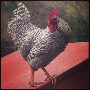 The City Chicken Craze