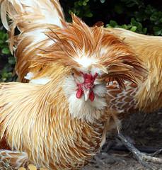 Polish Chicken Buff Laced