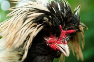 Polish Chickens Breed for the Home and Farm