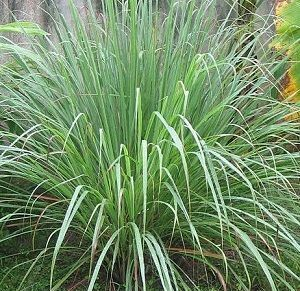 Plants that repel Mosquitoes 1