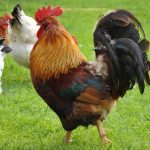 A Gallery of Gorgeous Rooster Pictures