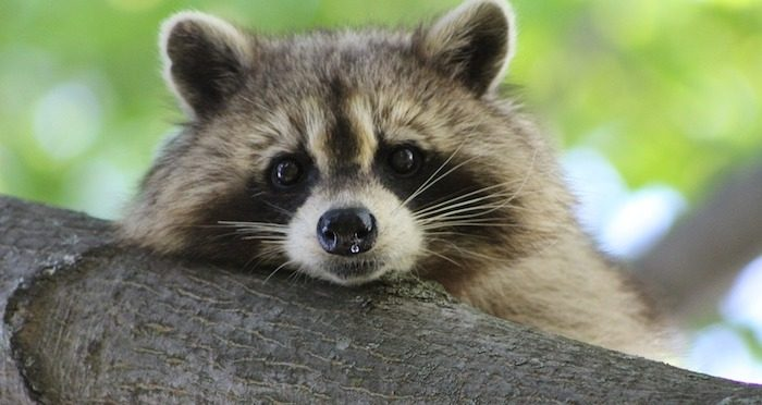 Raccoon Deterrent and Methods of Removal
