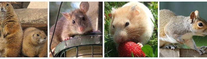Types of Rodents – The Most Common