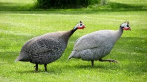 Raising Guinea Fowls ~ Everything you need to Know