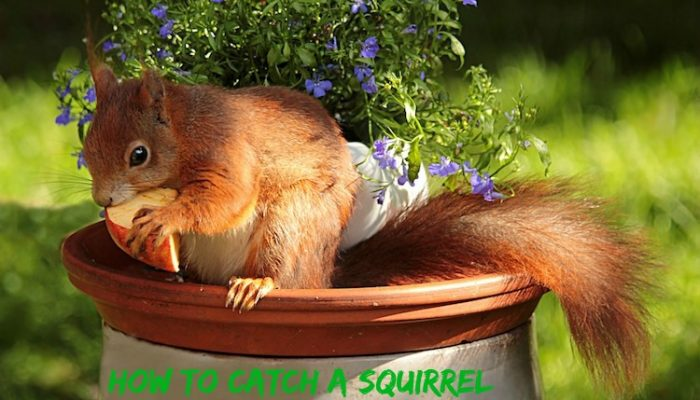 How to Catch a Squirrel and Remove them