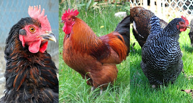 Heritage Breed Chicken