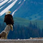 The Bald Eagle Beautiful Bird
