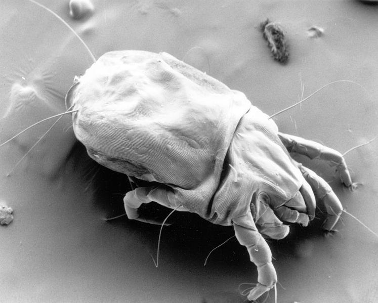 Dust Mites Bites